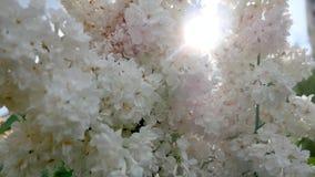 Bourgeon lilas luxuriant avec les fleurs blanches sur le fond des rayons du soleil banque de vidéos