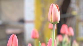 Bourgeon non-ouvert de tulipe rouge banque de vidéos