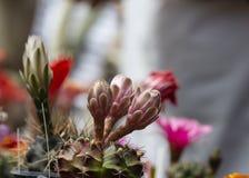 Bourgeon non-ouvert des fleurs de cactus photos stock