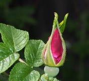 bourgeon rose Photo stock