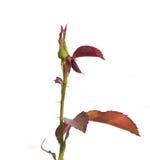 Bourgeon rose d'isolement Photographie stock libre de droits