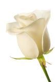 Bourgeon rose de blanc Image libre de droits