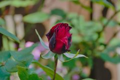 Bourgeon rose de floraison de rouge photos libres de droits