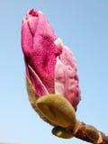 Bourgeon rose de magnolia Photo libre de droits