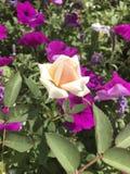 Bourgeon rose de pêche Image stock