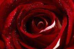 Bourgeon rose de plan rapproché Image stock