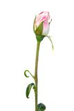 Bourgeon rose de rose Photo libre de droits