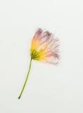 Bourgeon rose et jaune d'arbre Image libre de droits