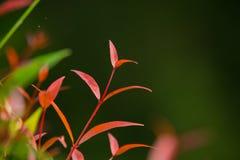 Bourgeon rouge Photo stock