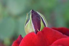 Bourgeon rouge Photos libres de droits