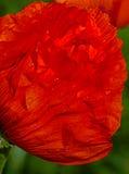 Bourgeon rouge de pavot brillé Photo stock