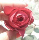 Bourgeon rouge de Rose photographie stock
