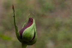 Bourgeon rouge de Rose Photographie stock libre de droits