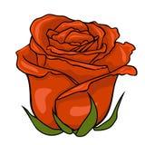 Bourgeon rouge de Rose Fleur sur le fond blanc Photographie stock