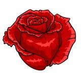 Bourgeon rouge de Rose Fleur sur le fond blanc Photographie stock libre de droits