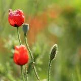 Bourgeon rouge sauvage de pavot Images libres de droits
