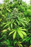 Bourgeon supérieur de kola sur la plante en pot avec des couleurs vertes vibrantes Photos stock
