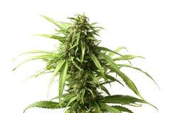 Bourgeon supérieur feuillu de marijuana sur l'usine de cannabis par le fond blanc Photo libre de droits