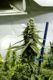 Bourgeon supérieur sur l'usine de marijuana sous des lumières à la ferme d'intérieur de cannabis Photographie stock libre de droits