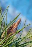 Bourgeon sur la branche de pin Image libre de droits