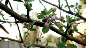 Bourgeon Unblown d'un pommier, fleur de couleur rose sur une branche clips vidéos