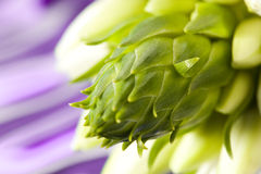 Bourgeon vert Image stock