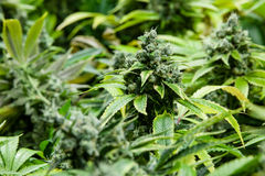 Bourgeon vert de marijuana avec les cristaux évidents Photos libres de droits
