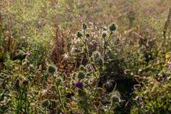 Bourgeonnant, fleurissant et chardon dissipé de fin Image libre de droits