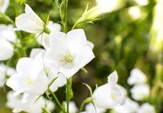 Bourgeonne la campanule blanche Photos libres de droits
