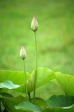 bourgeonne le lotus Photos libres de droits