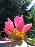 Bourgeonne le rhododendron Image libre de droits