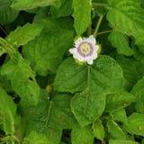 Bourgeonnement à la fleur Photographie stock libre de droits