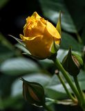 Bourgeonnement de rose de jaune Photos stock