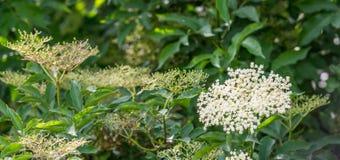 Bourgeonnement et arbre fleurissant blanc d'aîné Photos stock