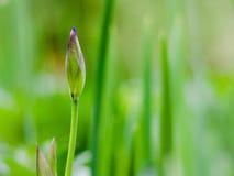 Bourgeonnez de l'iris bleu avec le fond brouillé Photographie stock