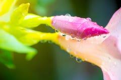 bourgeonnez la baisse rose de fleur et de rosée de fragipani sur l'arbre Fond et papier peint de nature image libre de droits