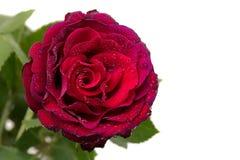 Bourgeonnez la rose de rouge avec les feuilles vertes dans les baisses en gros plan Photo stock