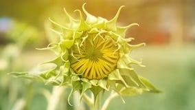 Bourgeonnez le tournesol Jeune concept de floraison de flore de nouveau début images libres de droits