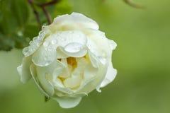Bourgeonnez les roses d'arbuste parfumées blanches avec des gouttelettes d'eau après le rai photos libres de droits