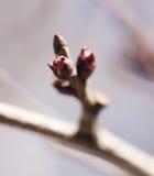 Bourgeonnez sur une branche d'arbre photo stock