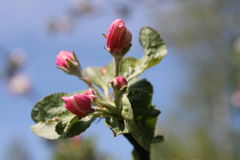 bourgeons Images stock
