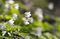 Bourgeons blancs des anemonies se développants photo libre de droits