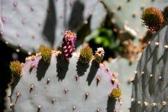 Bourgeons colorés sur un cactus Photo stock