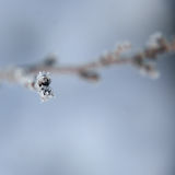 Bourgeons congelés, usines Nature en hiver Images libres de droits