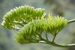 Bourgeons d'agave Images libres de droits
