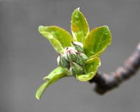 Bourgeons d'Apple photographie stock