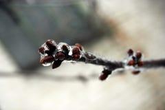 Bourgeons d'arbre en glace Image stock