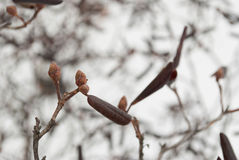 Bourgeons d'azalée dans la neige Photographie stock libre de droits