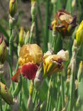 Bourgeons d'iris Photo stock