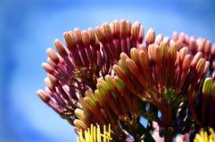 Bourgeons de cactus d'agave Images libres de droits